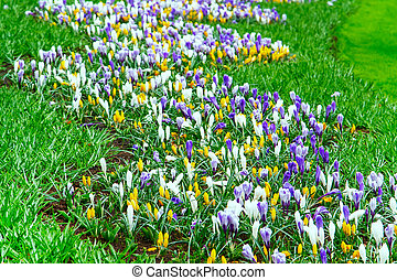 Colorful Crocus flowers blossom in dutch spring garden