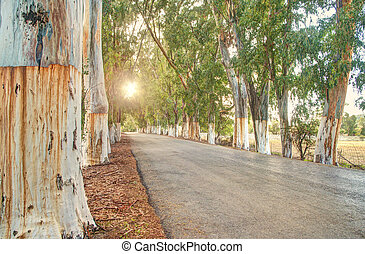 eucaliptus alley at sunset - eucaliptus tree alley at sunset...