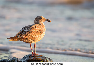 Western Gull (Larus occidentalis) - Juvenile Western Gull...