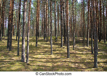 Pinery. - Inside the clean pine forest. The trunks of pines...