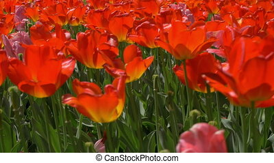 View of a lot of red and pink tulips field - View of red...
