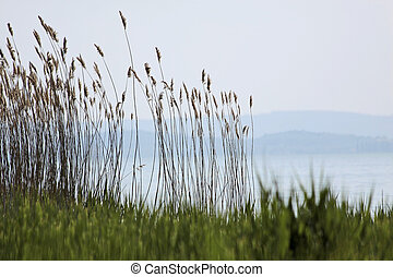 Lake Balaton near Szigliget - Reed beds near the village...