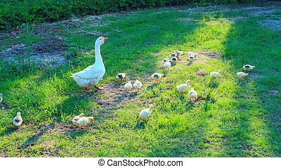 goslings with goose on the grass - young goslings with their...