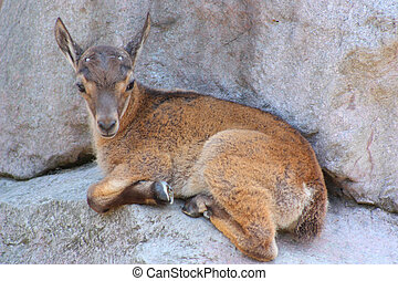 Small Markhor - Lying small wild goat lying on a rock