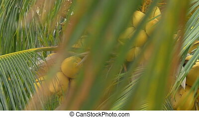 View of yellow green coconut in the bunch on coconut palm...