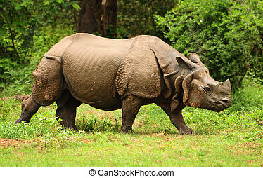 Indian Rhino - Great Indian one horned rhinoceros at...