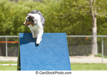 Agility Dog going over a-frame obstacle.