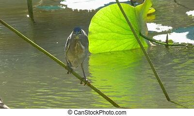 Little bittern on water plant - Little bittern settling on...