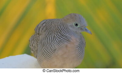 Zebra dove on Mauritius Island - Close-up shot of zebra dove...