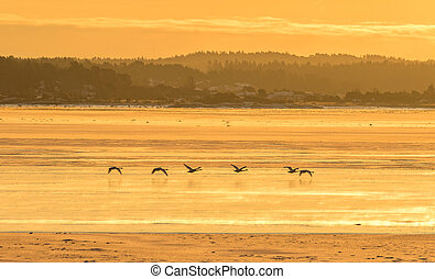 Whooper swans flying over ice covered ocean in warm light of the sunrise