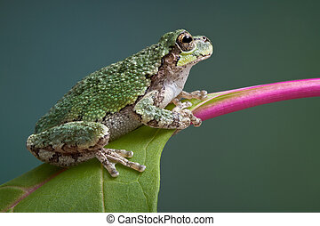 Grey tree frog on pokeweed