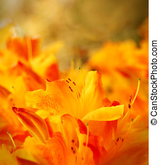 Floral background - Orange lilies floral backgroung