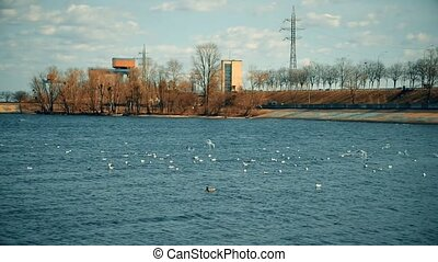 Flocks with many seagulls flying over blue water - Flocks...