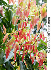 Cinnamon Tree - Cinnamomum zeylanicum - new fresh red...