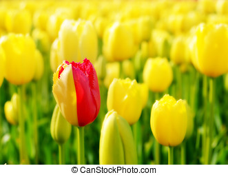 Differ - One red tulip among yellow ones