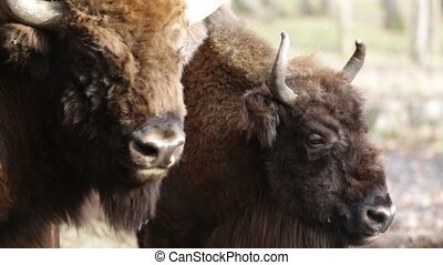 Close up of two big bisons, Poland