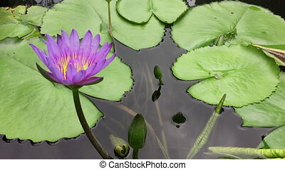 Water lily bloom from top view - Fresh Water lily bloom from...