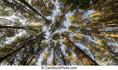 Vertical view of forest pine trees dancing in wind. Time...