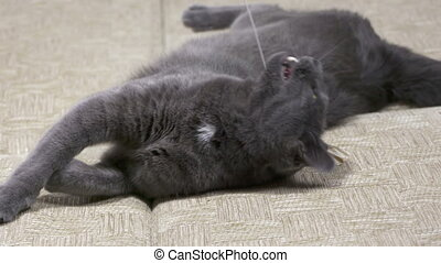 Young playful gray cat playing on the bed catches the mouse...
