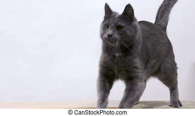 Gray cat jumping on a white background in slow motion - Gray...