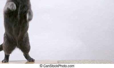 Gray cat playing with mouse toy on a string sequence of...
