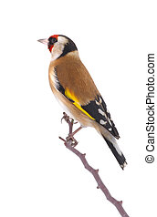 goldfinch isolated on a white background