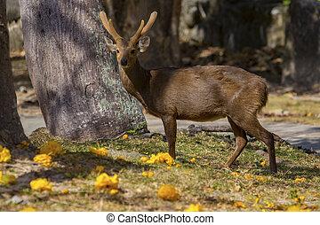 male Eld's deer, Thamin, Brow-antlered deer in field