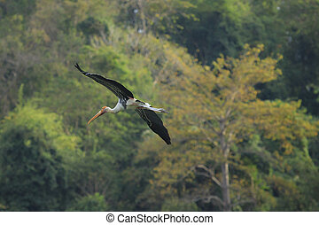 Painted Stork  bird flying against green natural wild
