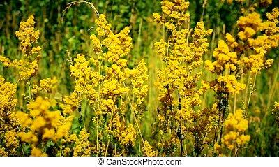 Beautiful yellow field flowers in a meadow