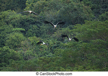 couples Painted Stork bird flying against green natural wild