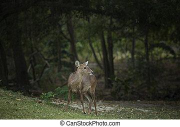 female Eld's deer, Thamin, Brow-antlered deer in field