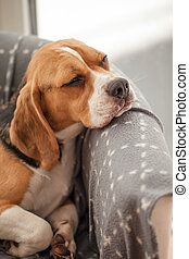 Young beagle taking a nap in an armchair