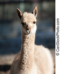 Vicuna - portrait of wild South American camelid living high...