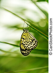 Tree nymph butterfly (Idea leuconoe) - The paper kite or...