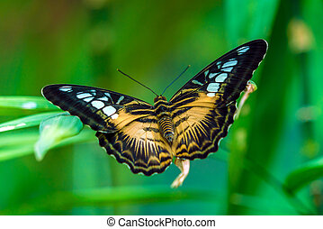 The Clipper species of nymphalid butterfly (Parthenos...