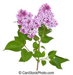Pink lilac (Syringa)