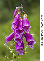 Close-up of a Foxglove, Digitalis purpurea, in bloom, popular flower in Scotland