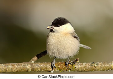 coal tit on twig - coal tit eating seed on a twig ( Parus...