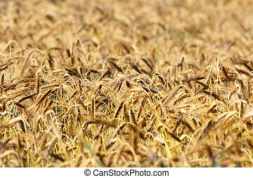 detail of wheat agricultural field