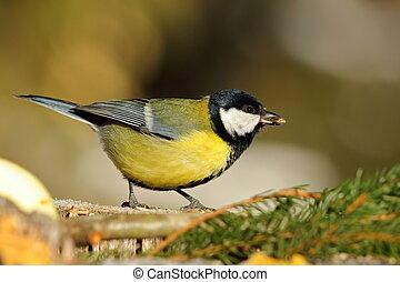 great tit at birdfeeder - great tit at bird feeder eating...
