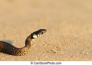 juvenile grass snake closeup on sand ( Natrix )