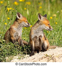 red fox brothers - two red fox brothers resting near the...