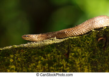 smooth snake on branch ( Coronella austriaca )