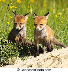two red fox brothers near the burrow - two young red fox...