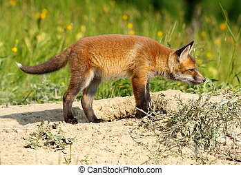 young european red fox exploring the surroundings near the...
