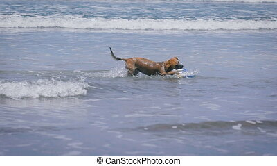 Funny dog playing with colored ball in the waves on the...