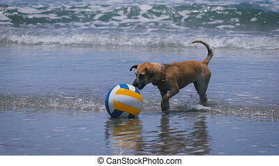 Happy wet puppy walking along the coast in the water and sniffing at coloured ball. Domestic brown dog of medium size shaking off in the ocean and barking standing near the volleyball.
