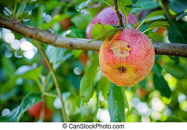 Rotten apple - Italian typical rotten apple on the tree