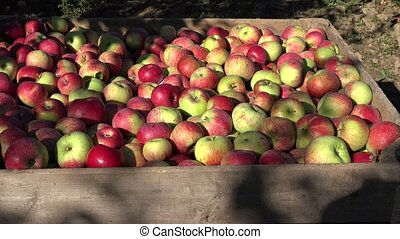 Wooden crate full of harvested apples in farm orchard fruit tree. Tilt up. 4K
