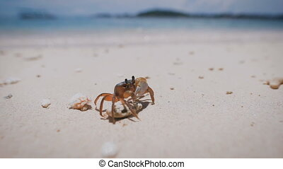 Close up of a soft-shell crab with claws standing on the...